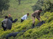کرونا صادرات چای هند را ۲۷ درصد کاهش داد/ایران باید به فکر بازار جدید باشد؟