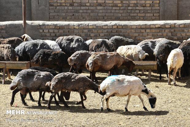 ۳۸۰۰ راس گوسفند در مازندران قربانی نذر خیر شده است