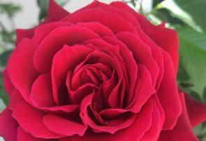 گل درمانی / تاثیر مثبت استشمام عطر گل بر اعصاب و افکار