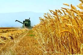 مازندران در رده پنج استان برتر کشور از لحاظ کیفیت گندم
