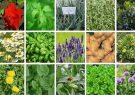 ضرورت برنامه ریزی برای صادرات گیاهان دارویی از مازندران
