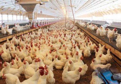 هشدار کمبود جوجه در ماه های آتی/آیا برخی به دنبال واردات مرغ هستند!