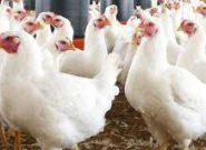 افزایش دوباره قیمت مرغ در خرده فروشی ها