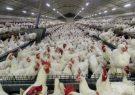 بلبشو در بازار مرغ/مرغ به جای مردم به دست سودجویان میرسد