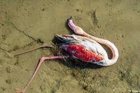 پدیده اختناق علت مرگ بیش از ۵۰ هزار قطعه پرنده مهاجر در تالاب میانکاله