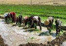 سنگاندازی مافیای واردات برای افزایش کشت برنج در کشور